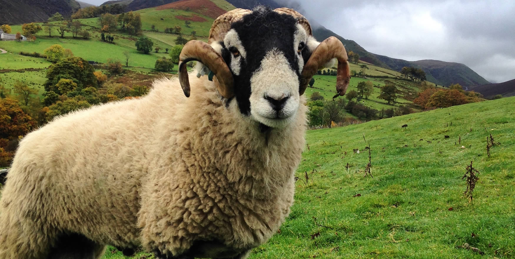 swaledalesheep